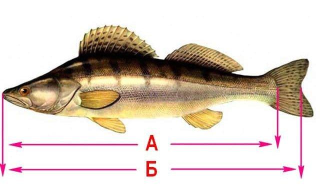 Как мерить рыбу по закону
