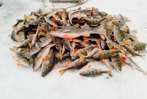 Как привлечь окуня на зимней рыбалке