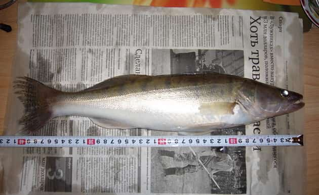 Какой длины рыба судак