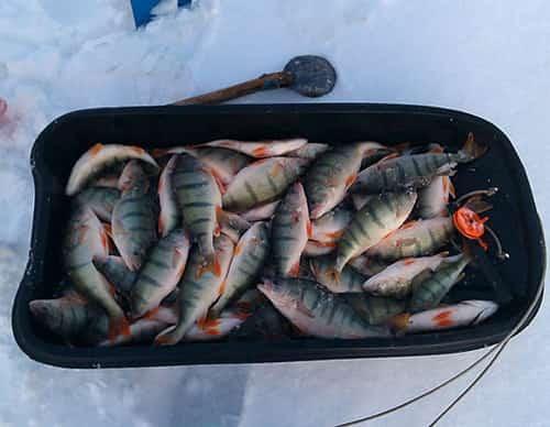 Ловля окуня на Балду зимой