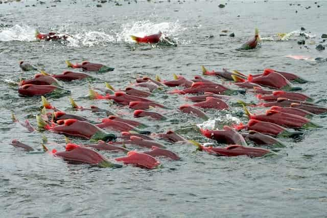 миграция лосося на нерест