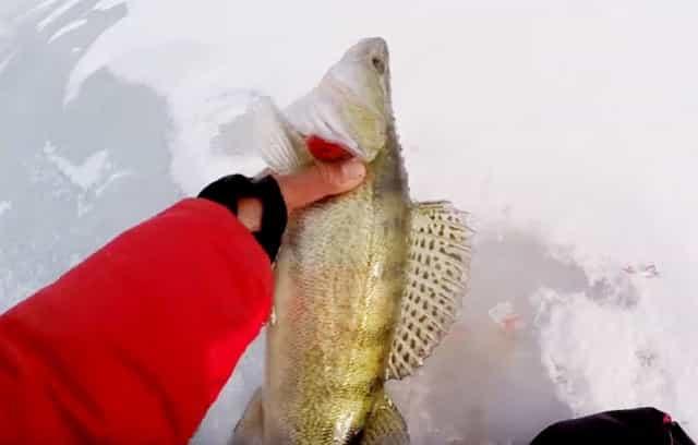 Рыбалка в феврале на судака