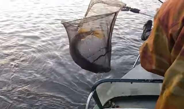 Щуку достаем из воды подсаком