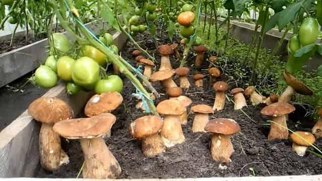 Как вырастить белые грибы на даче в открытом грунте на дрожжах