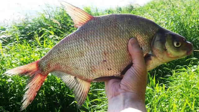 История рыбака - крупный лещ