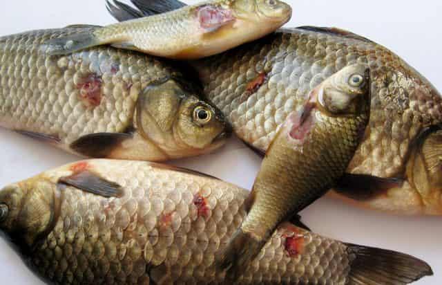 Краснуха у пресноводной рыбы