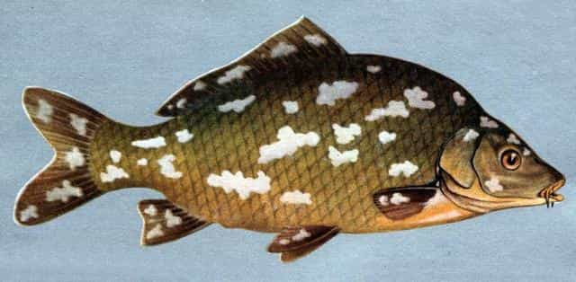 Оспа у рыб