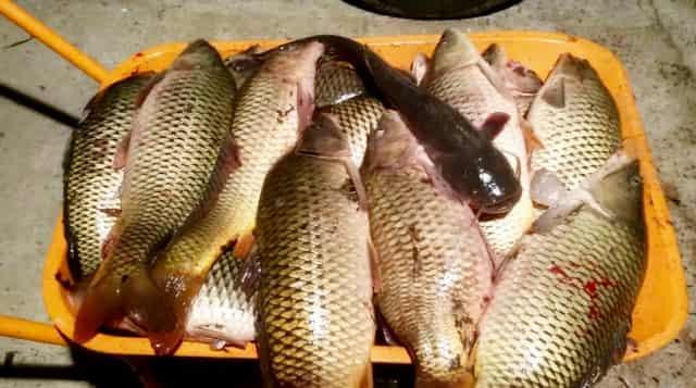 Паразиты и болезни речной рыбы опасные для человека