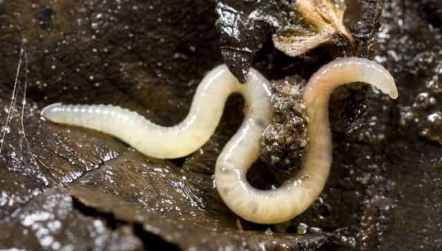 Белый червь - уловистая насадка для рыбалки