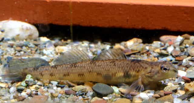 Рыба Даллия - фото