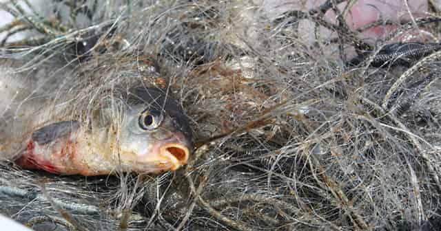 Рыба в чужих сетях