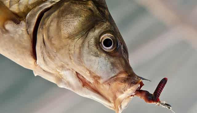 Как успешно ловить на червя - подсказывает опытный рыбак