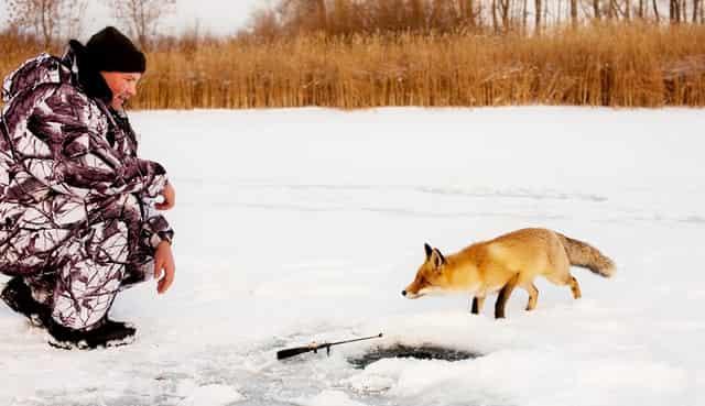 Случай на рыбалке: лиса и рыбаки - спасла жизгь рыбакам и навела на место лова