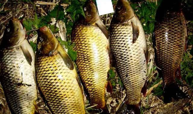 Как приманить крупного карпа и сазана - хитрый способ - 2 мешка на дно и рыбы в садках полно