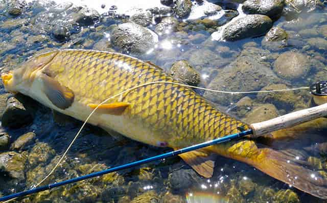 Правильное вываживание крупной рыбы, к примеру карпа в 19 кг