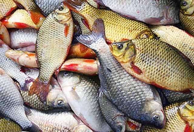 Приманки насадки для рыбалки - сколько нужно керосина для карася и как запаривать горох для карпа