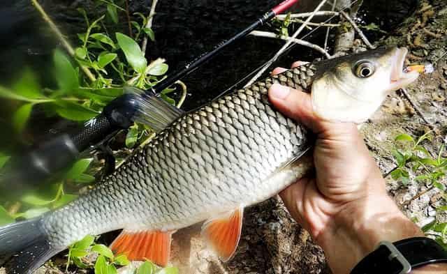 Ловля голавля - какую снасть лучше применять: спиннинг, поплавок или пикер