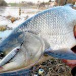 Ловля жереха: где искать, что ест, как найти? Что должен знать рыбак