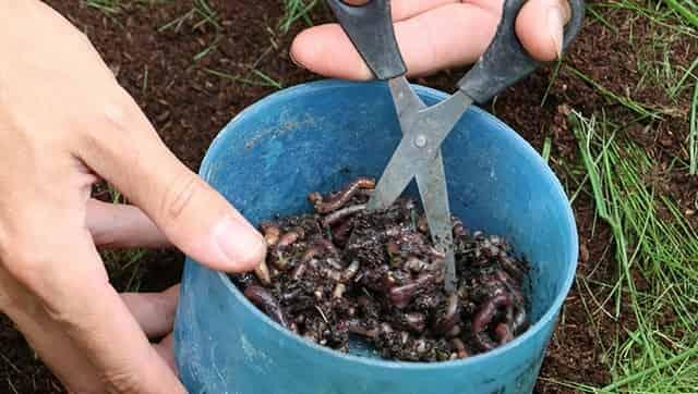 Режем - крошим червей в прикормку