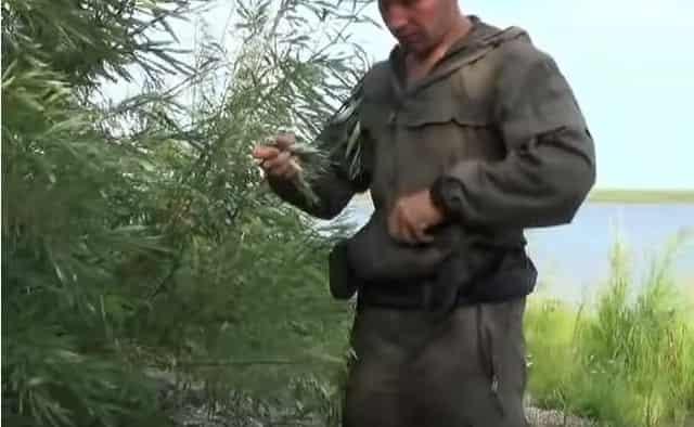 Собираем листья для копчения рыбы на природе