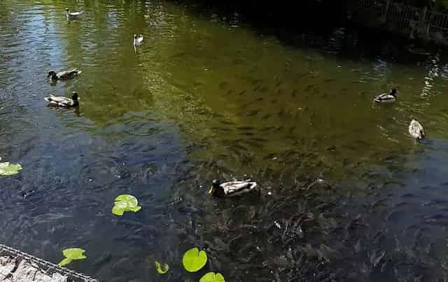 Неубиваемая рыба для своего пруда на даче - она даже в луже живёт