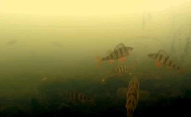 Подводные съёмки отпущенной рыбы после улова