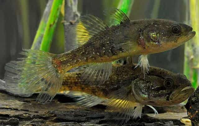 """Ротан - """"Гроза"""" всех прудов - рыбка, которая вкусна в котлетах, но прожорлива на водоёме"""