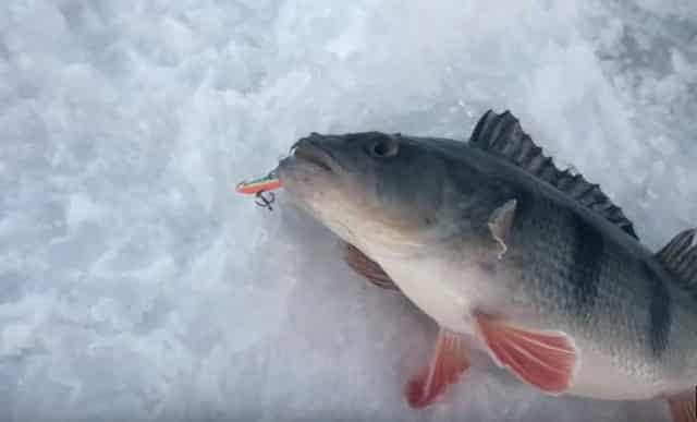 Ловля крупного окуня зимой