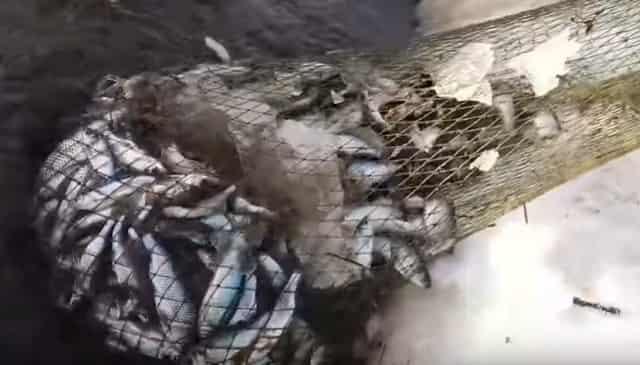 Ханты добывают рыбу способом ботать