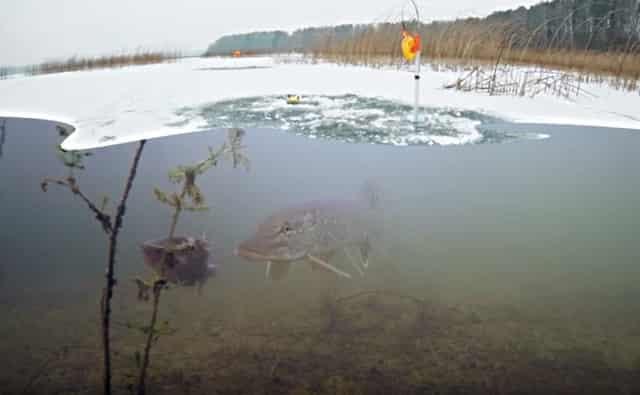 Зимняя рыбалка 2019 на жерлицы: интересные кадры, что происходит с щукой и живцом подо льдом