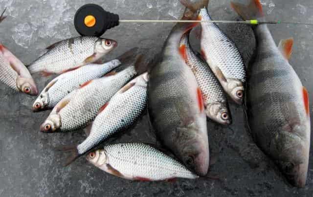 Безмотыльная ловля зимней рыбы