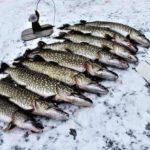 Дедовский секрет как нужно правильно ловить много щуки на жерлицы