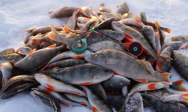 """Опытный рыбак показал мне как безупречно ловить зимнего окуня на уловистый """"тандем"""""""