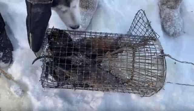 Ловля ондатры зимой мордушками
