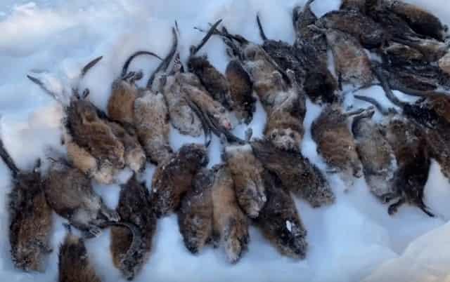 """Интересная охота и ловля в Якутии на """"водяного кролика"""", так его местные прозвали"""
