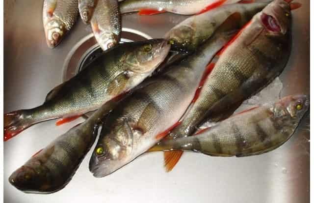 Опытный рыбак рассказывает, как можно почистить окуня, чтобы чешуя не летела