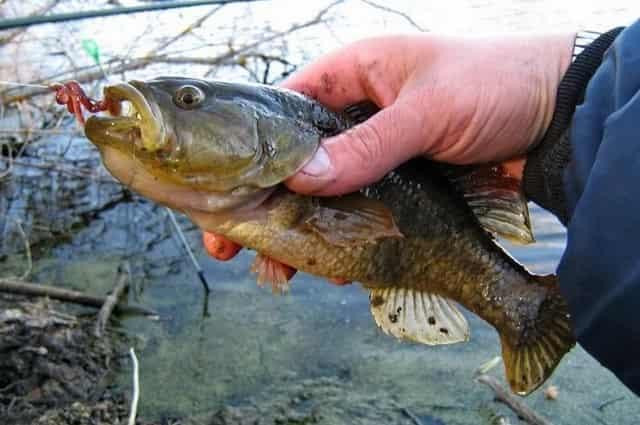 Ротан – самый прожорливый хищник водоёма