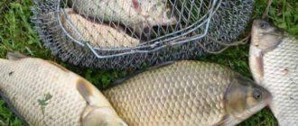 Рабочая прикормка на карася, которая моментально соблазнит рыбу на поклёвку